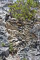 Breccia-filled dissolution pit (Sandy Point Northeast roadcut, San Salvador Island, Bahamas) 7 (16280849128).jpg