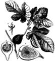 Britannica Fig Ficus Carica.png