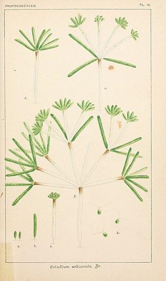 Yellow-green algae - Image: British fresh water algae, exclusive of Desmidieae and Diatomaceae (1882 1884) (20231360259)