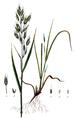 Bromus mollis — Flora Batava — Volume v8.png