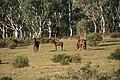 Brumbies (Feral horses).jpg