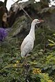 Bubulcus ibis (Cattle Egret).jpg