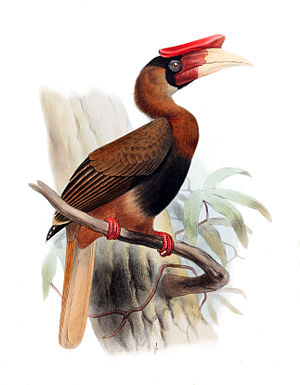 Rufous hornbill - Subspecies B. h. mindanensis; illustration by Joseph Smit, 1881