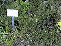 Buchloe dactyloides - Botanical Garden, University of Frankfurt - DSC02546.JPG