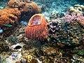 Bucket Coral, Mabini Batangas - panoramio (1).jpg