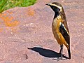 Buff-streaked Chat (Oenanthe bifasciata) male (6888393956).jpg