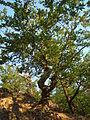 Buk lesní 04555.JPG