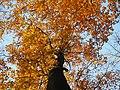 Buk lesní 2.jpg