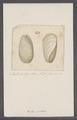 Bulla scabra - - Print - Iconographia Zoologica - Special Collections University of Amsterdam - UBAINV0274 091 07 0004.tif