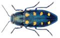 Buprestis octoguttata Linnaeus, 1758.png