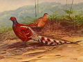 Burmese Barred-backed Pheasant by George Edward Lodge.png