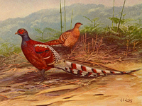 Vavu (Mrs. Hume's pheasant) is the state bird[44] (top) and Senhri (Renanthera imschootiana) the state flower of Mizoram.[45]
