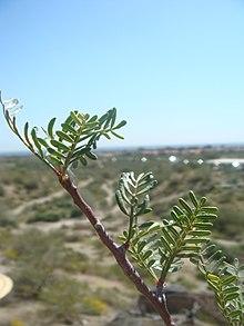 Bursera-microphylla-20080322.JPG