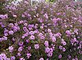 Bush with purple flowers Santa Clara California.jpg