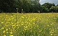 Buttercup Meadow at Orrell Water Park - geograph.org.uk - 928512.jpg