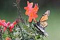 Butterfly 9345 (9433930942) (4).jpg