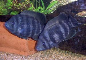 Tilapiine cichlid - Zebra tilapia (Heterotilapia buttikoferi) in an aquarium