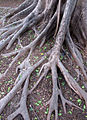 Buttress root system..jpg