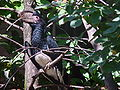 Bycanistes bucinator (male) -Bogazici Zoo-8a.jpg