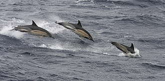 Common dolphin - Common dolphin, Ireland