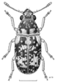 COLE Anthribidae Liromus pardalis f.png