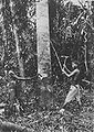 COLLECTIE TROPENMUSEUM Dajak mannen hakken een boom om Borneo. TMnr 60045266.jpg
