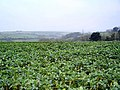 Cabbage field near Kingsbridge - south Devon - geograph.org.uk - 117723.jpg