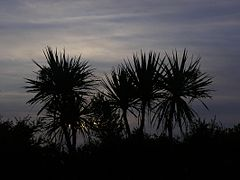 Cabbage tree silhouette.jpg