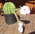 Cactus blossom bg2.jpg