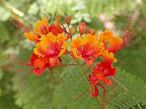 Pfauenstrauch (Caesalpinia pulcherrima), Blütenstand