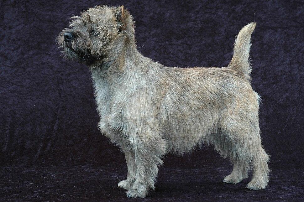 Cairn Terrier - 001