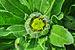 Calendula officinalis flowerbud 22122014 (1).jpg