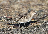 Calidris bairdii, Pillar Point Harbor, California 1.jpg