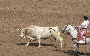 Lasso - A loose bull is lassoed by a pickup rider during a rodeo