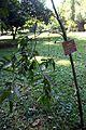 Calophyllum bracteatum.jpg