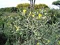 Calycotome villosa2.jpg
