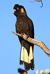 A large black cockatoo perching on a branch.