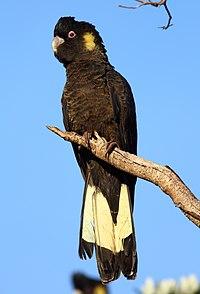 الكوكاتو الأسود أصفر الذيل  200px-Calyptorhynchus_funereus_-Flinders%2C_Victoria%2C_Australia_-male-8