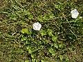 Calystegia soldanella C. tuguriorum (L.) R.Br. (AM AK300559-3).jpg