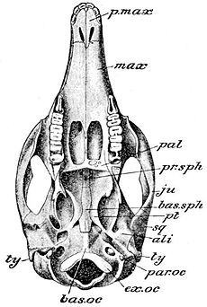Cambridge Natural History Mammalia Fig 062.jpg