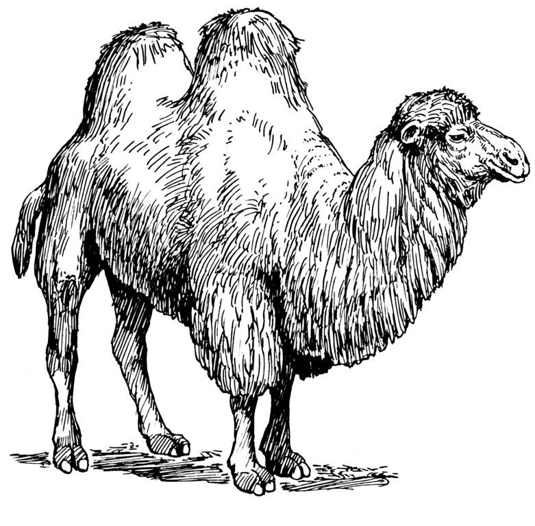 File:Camel (PSF)-transparent png - Wikimedia Commons