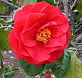 Camellia 'Dr Clifford Parks'.jpg