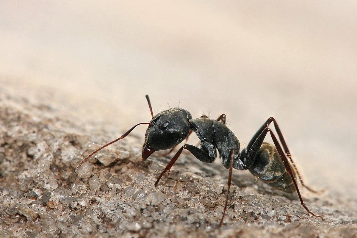 Formicidae - Wikipedia, la enciclopedia libre