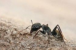 Camponotus sp. ant.jpg