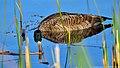 Canada Goose (Branta canadensis) (8723027333).jpg
