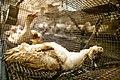 Canard-mort-cage-defoncee.jpg