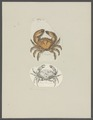 Cancer rumphii - - Print - Iconographia Zoologica - Special Collections University of Amsterdam - UBAINV0274 094 14 0050.tif
