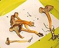 Cantharellus tubaeformis prg.jpg