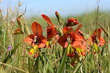 Gladiolus Alatus Wikipedia