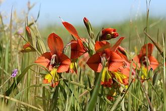 Fynbos - Gladiolus alatus flowers in Cape fynbos.